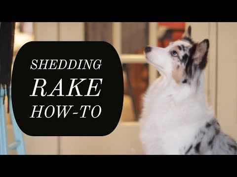 HOW I USE A FURSHARK SHEDDING RAKE ON MY AUSTRALIAN SHEPHERD