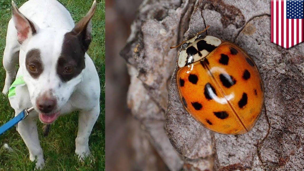 Mulut Anjing Penuh Dengan Kepik Yang Menempel Tomonews