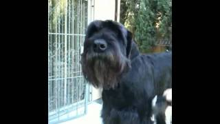 The Right Companion: Giant Schnauzer Grooming 1