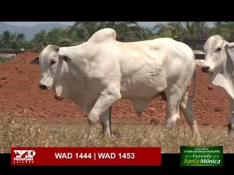 LOTE 48 - WAD 1444 | WAD 1453