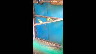 Волнистый попугай не обычный цвет
