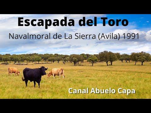 Navalmoral de la sierra escapada del toro 1991 youtube - Navalmoral de la sierra ...