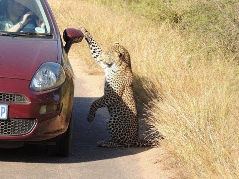 Leopard Likes His Reflection On Car