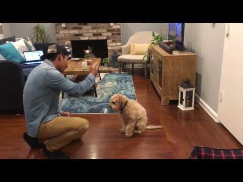 Smart dog - Bruno the cockapoo - tricks