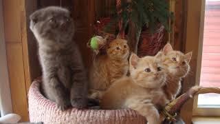 Шотландские вислоухие и страйт котята ( www.bri-cat.ru)