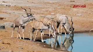Символы дикой природы.  Антилопы