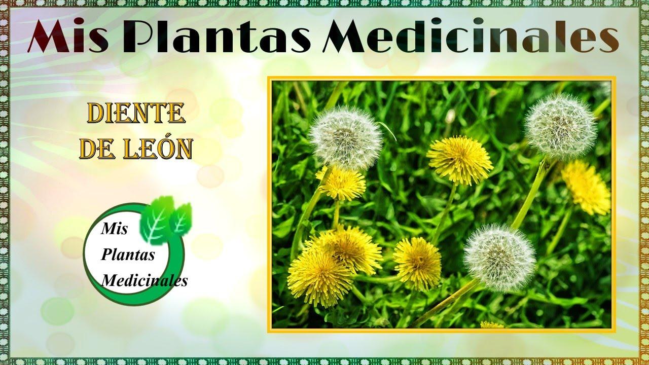 Diente de le n propiedades y beneficios plantas for Plantas ornamentales y medicinales