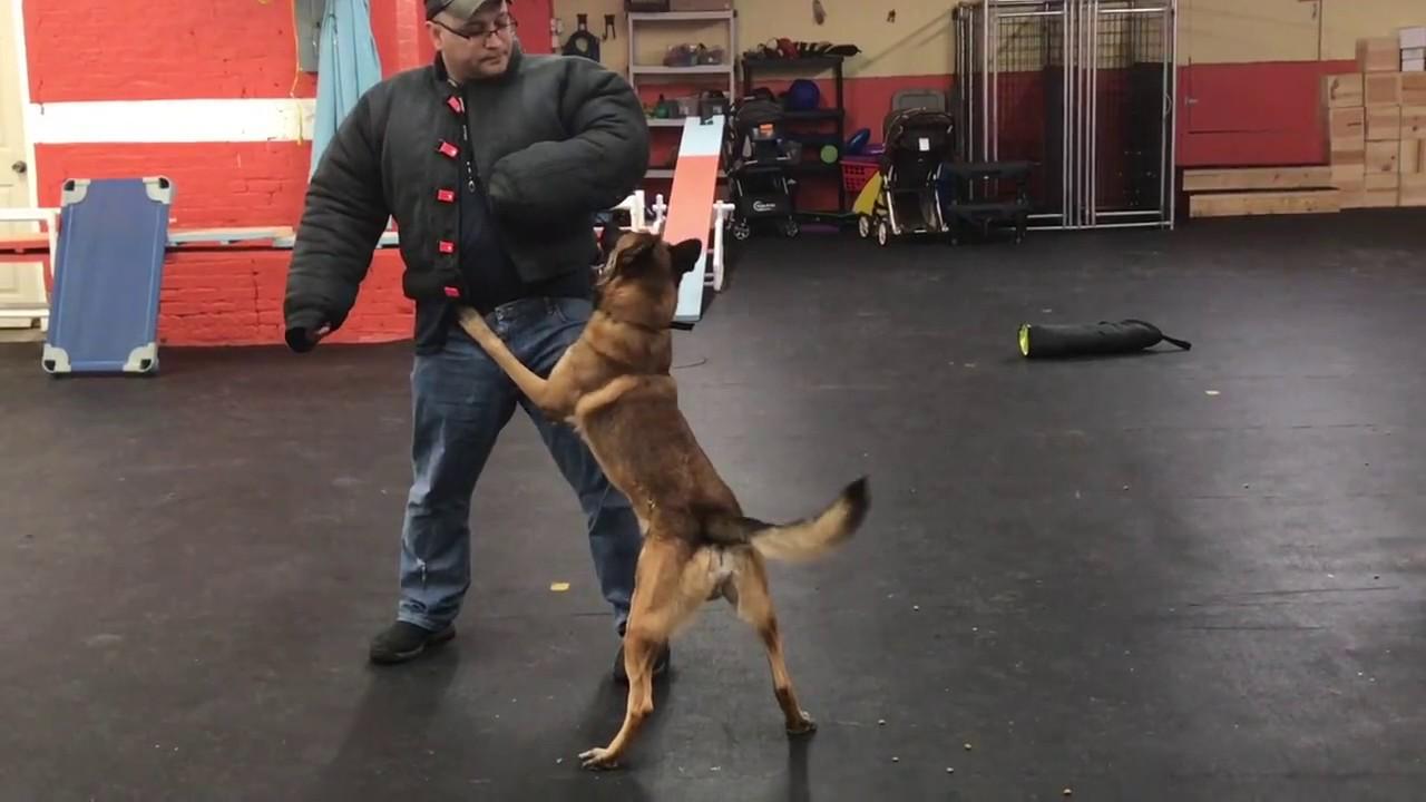 Training Kaiser Bite Work Solid K9 Training Dog