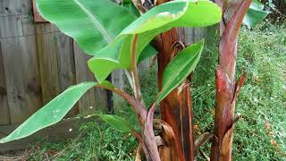 Bananas growing and fruiting in a cool Temperate climate.