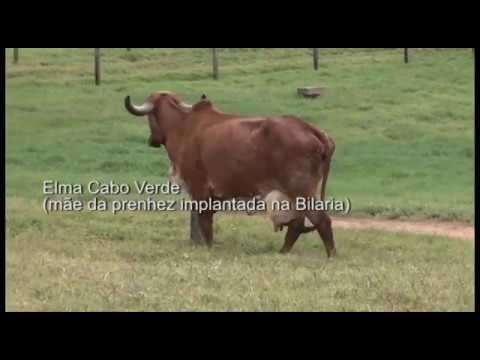 LOTE 34 JCVL1953 BARAUNA JCVL2027 BILARIA