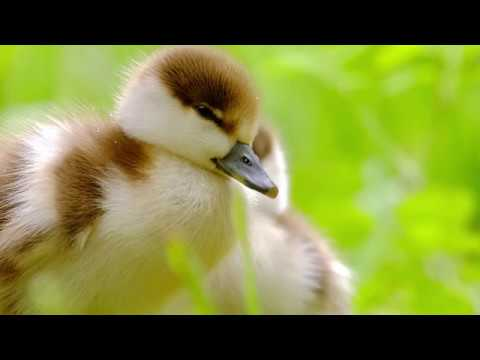 "Peaceful music, Relaxing music, Instrumental music ""Beautiful Birds"" by Tim Janis"