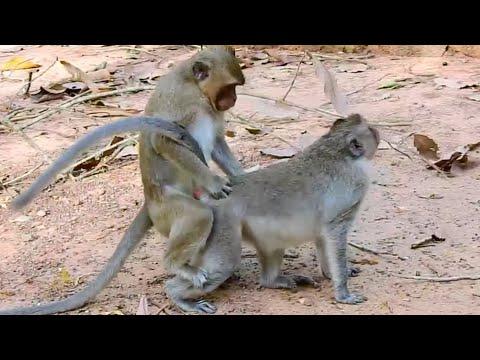 monyet kecil belajar kawin, terlihat sangat baik.