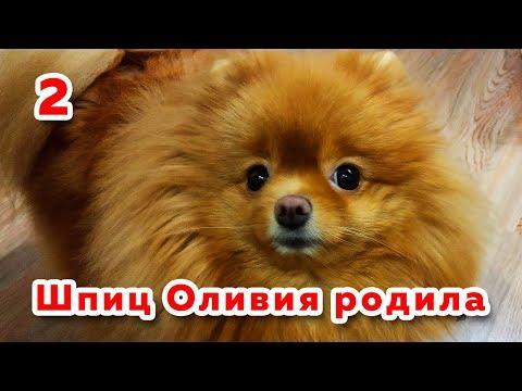 🐾 Собака после родов. Сколько щенков у шпица Оливии. Роды шпица