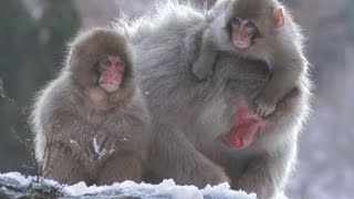 【SNOW MONKEY】 Mother Raise Two Babies 8 地獄谷野猿公苑