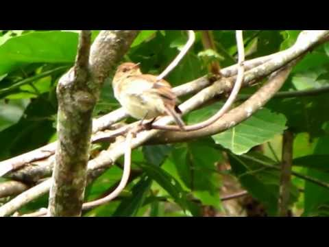 Bran-colored Flycatcher - Myiophobus fasciatus - Colombia Wildlife