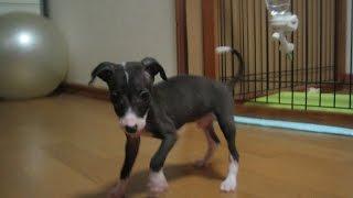 Dog Italian greyhound cute / イタリアングレーハウンド https://www.y...