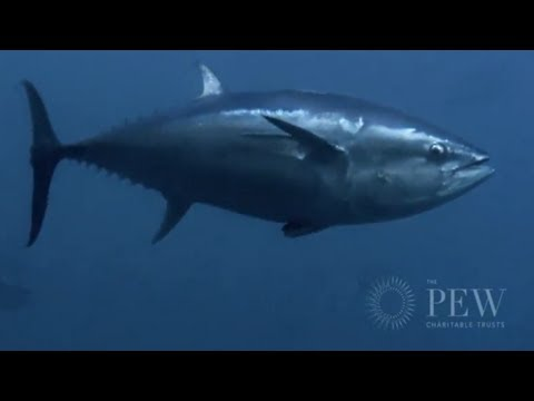 Behind The Mediterranean Bluefin Tuna Trade | Pew