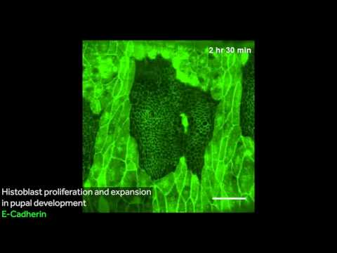 Apoptosis, adhesion and tension during morphogenesis