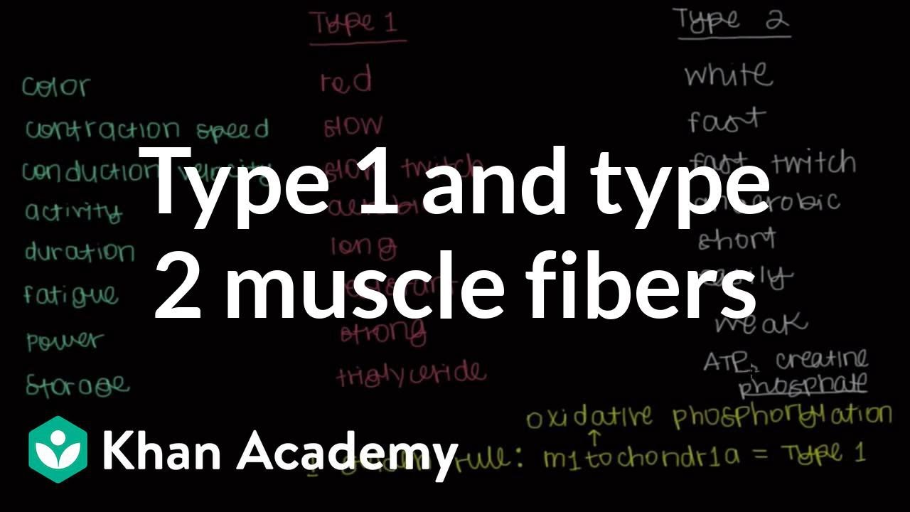 Type 1 and type 2 muscle fibers (video)   Khan Academy