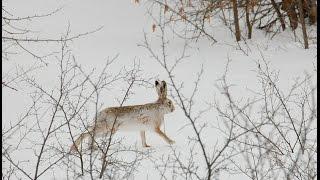 Первая пороша. Открытие сезона по зайцу и лисе с русской пегой гончей
