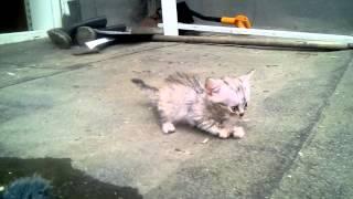 Котенок с гидроцефалией Джеди-Мария (вискасный джедай): точим когти между прочим
