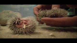 Video 1 week old African Pygmy Hedgehogs download MP3, 3GP, MP4, WEBM, AVI, FLV Juni 2018