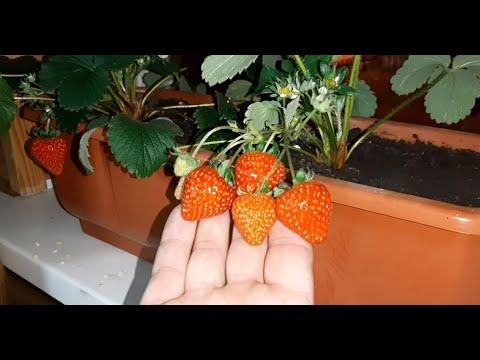 Клубника на подоконнике Как вырастить клубнику зимой на подоконнике? strawberries on the windowsill