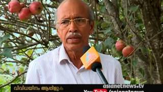 Apples are ready to harvest at Idukki Kanthalloor
