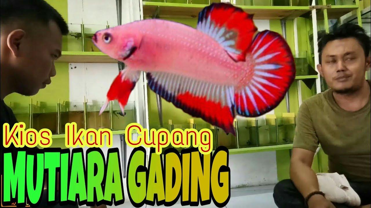 Kios Ikan Cupang Mutiara Gading Betta Bekasi Timur Youtube