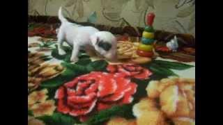 №1 Питомник предлагает щенков китайской хохлатой собаки в Мурманской обл.