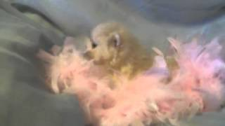 Top Quality Rare Color Pomeranian Puppy Sale In India