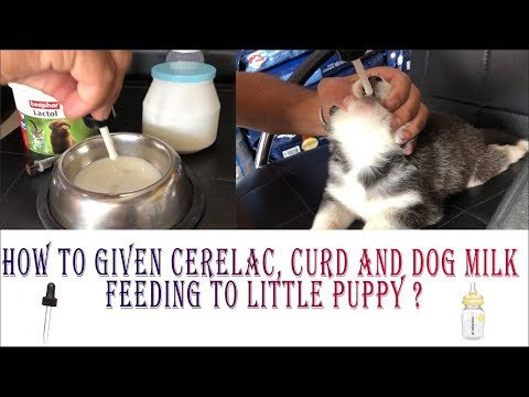 How To Give Cerelac, Curd And Dog Milk Feeding To Little Puppy ?