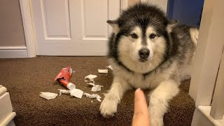 NAUGHTY NIKO STRIKES AGAIN | BAD DOG LEFT ALONE FOR 2 HOURS