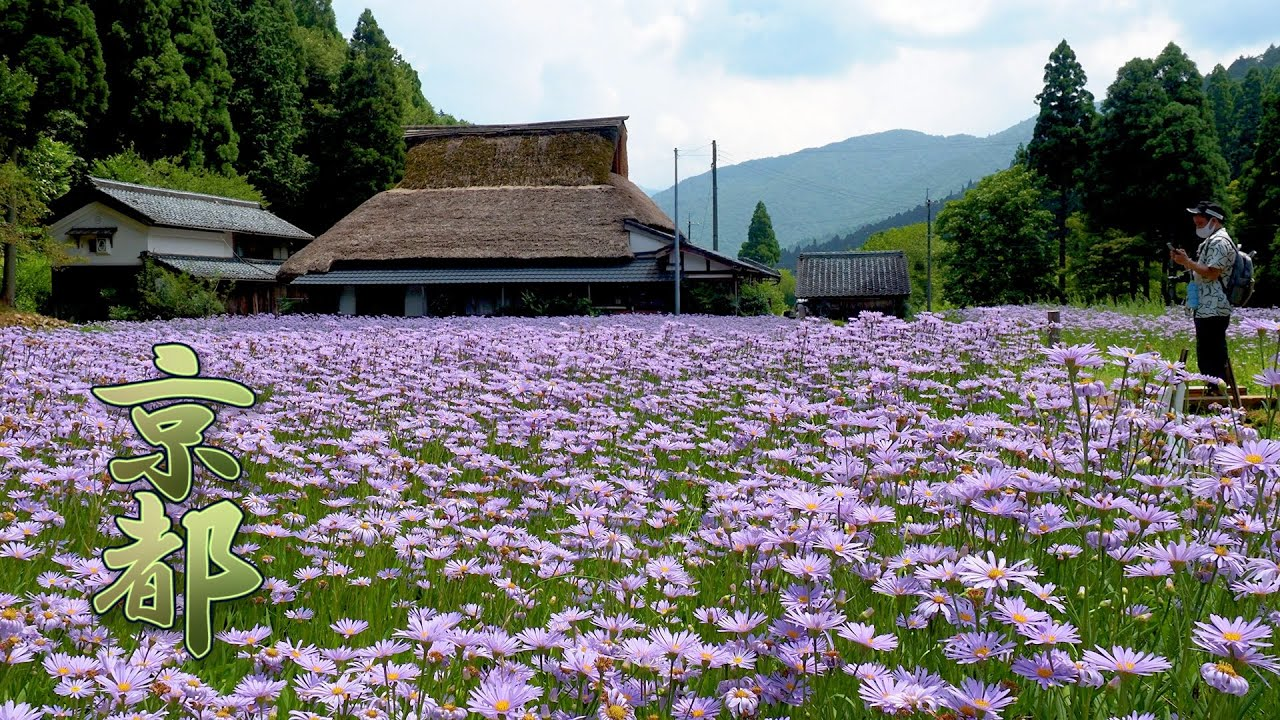 The Countryside of KYOTO is covered with Kimono's color in the middle of summer. #4K #友禅菊 #Yuzen