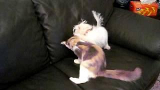Mini Maltese Vs Persian Exotico Kitten