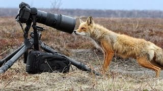 Funny Videos of Foxes doing Wild & Wacky Stuff you won't Believe!► Funny Foxes Compilation & Moments