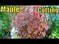 How To Grow Maple Plant From Cutting | Result Of 42 Days | Good Growth (Urdu/hindi)