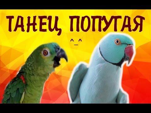 Александрийский попугай танцует САМЫЙ СМЕШНОЙ ПОПУГАЙ! Parrot! Смешное видео