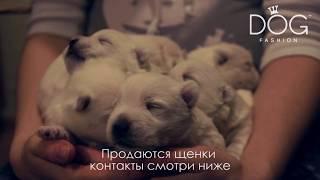 Бонлемар - Вест хайленд вайт терьер - Щенки Веста продажа