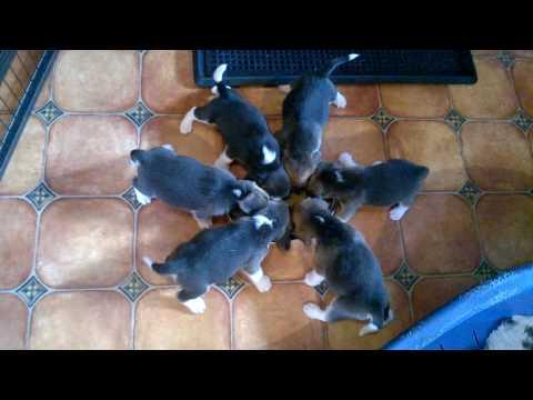 Beagle szczeniaki miot J