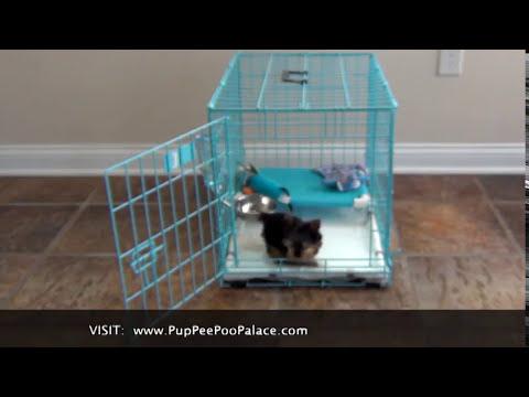 potty-training-a-yorkie-puppy,-house-break-a-yorkie,-train-a-tiny-teacup-puppy