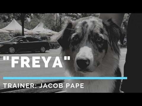 "Australian Shepherd ""Freya"" l Fearful Dog Transformation l OLK9 Detroit"