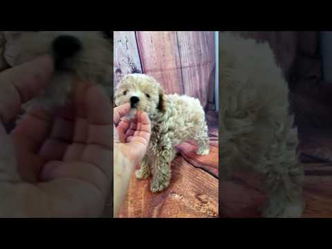 Cream toy poodle girl