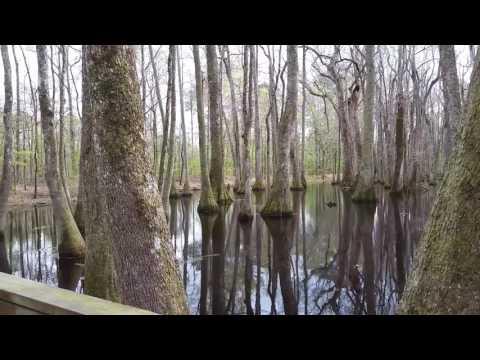 Mississippi Bald cypress swamp