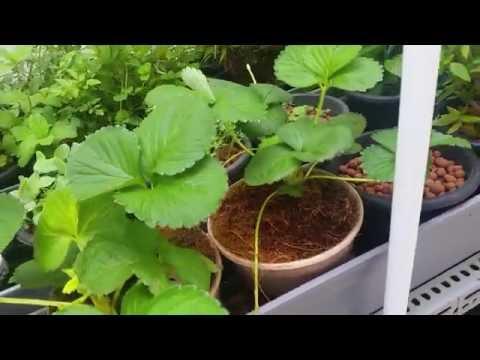 Affnan's Aquaponics - Seedling & Strawberry Plants Update 23rd Sept 2016
