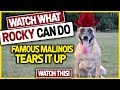 Watch One of The Best Dog You've Ever Seen-Super Malinois