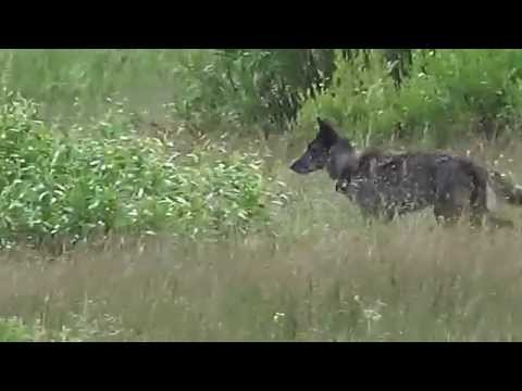 Wolf pack leader (Alpha female 926F) - Morning in Lamar Valley ,Yellowstone