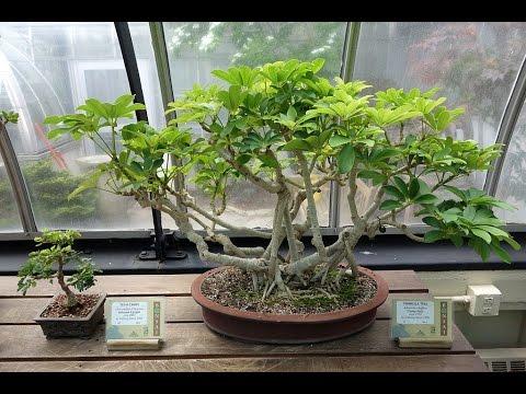 Best Beginner Bonsai Trees Dwarf Schefflera Youtube