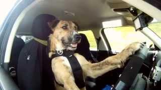 собака которая водит машину