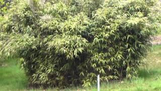 tabashir bambou.MTS